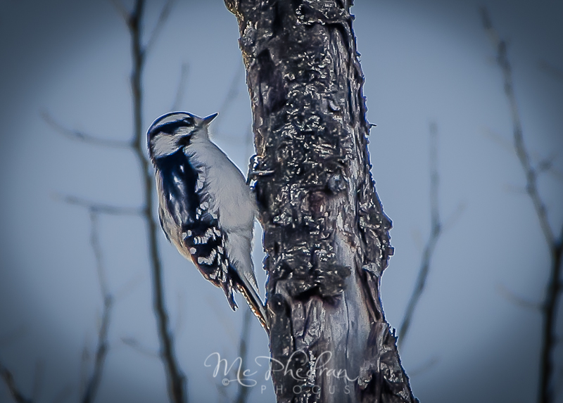 woodpecker how to get rid of